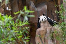 Giant Panda Sleeping On The Rock