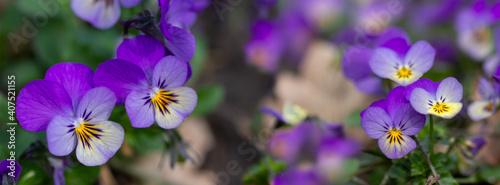 Obraz na plátně Flowers pansy on the flowerbed.