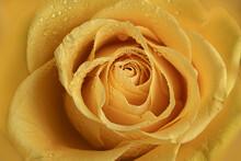 Yellow Rose Macro Closeup