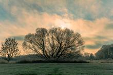 F Rozen Tree In The Wiesengrund
