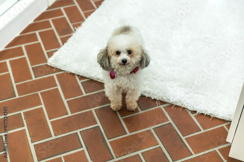 Small white bichon dog on a red brick floor with a white rug Fototapet