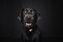 Labrador Retriever Im Fotostudio. Hund Versucht Essen Zu Fangen. Schwarzer Hund Schnappt Nach Treats Und Macht  Witziges Gesicht