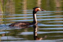 The Great Crested Grebe On The Water In Morning Summer Light