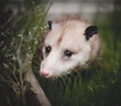 Old and pretty Virginia opossum in the garden