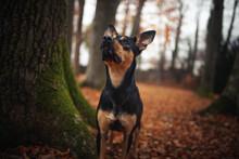 Portrait Von Einem Australian Kelpie. Schwarzer Hund Bei Einem Baum.