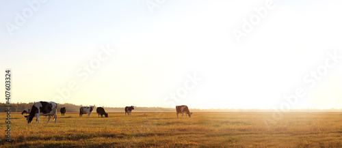 Valokuva herd of cows in a large meadow at dawn. free grazing in nature
