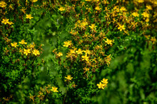 Many Delicate Yellow Flowers Of Hypericum Perforatum Plant, Commonly Known As.perforate Or Common St John's Wort, In A Garden In A Sunny Spring Day