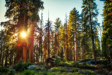 Sunset In The Giant Sequoia Forest, Sequoia National Park, California