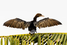 Little Cormorant Sitting On Tree To Dry Its Wings After A Dive In Search Of Food In Shallow Water.