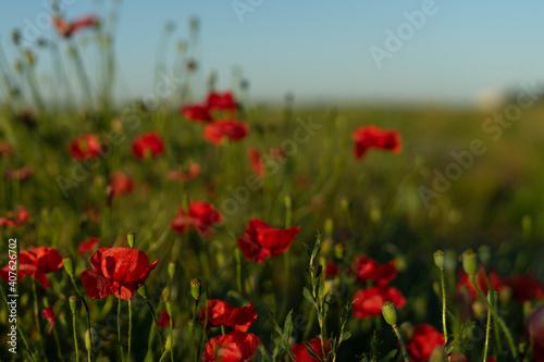 Fototapeta Red poppies on a field of flowers on a sunny summer day obraz na płótnie