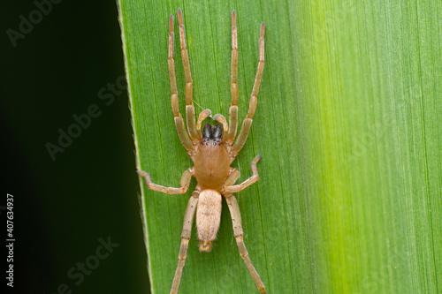 Tablou Canvas Yellow sack spider, Cheiracanthium mildei, Satara, Maharashtra, India