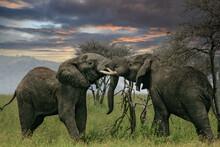 African Elephant (Loxodonta Africana) Two Fighting Bulls, Serengeti National Park; Tanzania