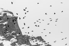 Gran Paradiso National Park, Italy: Flock Of Alpine Choughs (pyrrhocorax Graculus) Soaring Above A Mountain Ridge Covered With Snow.