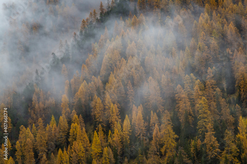 Valokuvatapetti forest of golden spruces in autumn in fog in Swiss alps
