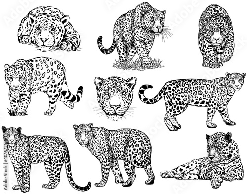 Fotografie, Obraz Set of hand drawn sketch style leopards isolated on white background