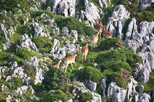 Gamos Y Rebecos En El Monte Sueve. Asturias.