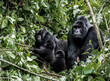 Family of moutanis gorillas, baby, mother and father, in virunga