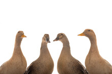 Brown Ducks Isolated On White Background