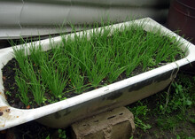 Unusual Bed. Young Green Onions Grow In An Old Enameled Bath Filled With Soil.