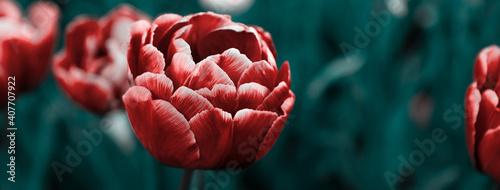 Fotografia Multicolor flowerbed of tulips spring flowers