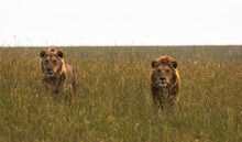 Two Male Lion Brothers In Savannah Looking Out Of The Grass On Search For Prey In African Wilderness (masai Mara)