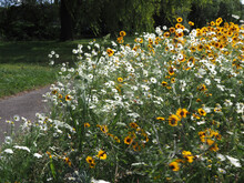 Wildflowers Planted To Encorauge Insects In A Roadside Verge