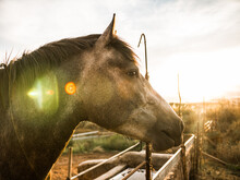 Beautiful Spanish Horse In The Golden Sunset Of Andalusia