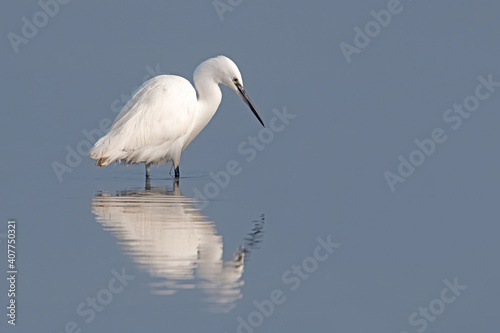 Photo Little Egret (Egretta garzetta) in a lagoon on the Norfolk Coast