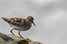 Least Sandpiper Perched On A Rock By The Ocean Hunting For A Meal.