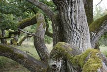 View Of An Old Oak Tree With Green Moss Growing On The Trunk