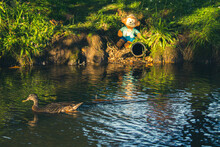 Shot Of A Beautiful Cute Duck Swimming In The Lake And A Soft Toy Monkey Sitting On The Grass