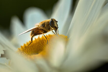 Bee Close-up Macro On A White Daisy