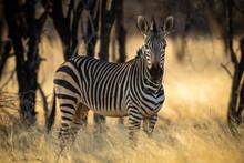 Hartmann Mountain Zebra Stands Eating Under Trees