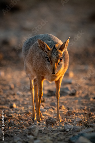 Canvas-taulu Kirk dik-dik stands on gravel at dawn