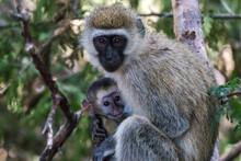 Vervet Monkey Mother Feeding Baby