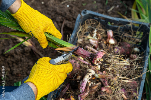Cuadros en Lienzo Garden pruning shears are yellow