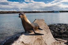 Lonely Seal On A Stone Pier Of South Plaza Island, Galapagos Archipelago