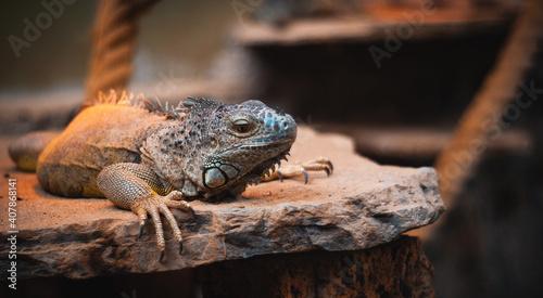 Closeup shot of an iguana lying on a flarock with a blurred background Fototapet
