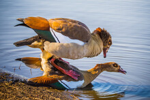Love Of The Egyptian Goose, Alopochen Aegyptiaca, In Kruger National Park