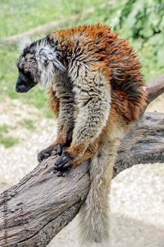 Fototapeta premium a black lemur (Eulemur macaco) sitting on tree trunk at zoo