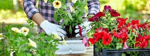 Stampa su Tela banner Woman hand planting flowers petunia, Gardener with flower pots tools