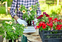 Woman Hand Planting Flowers Petunia, Gardener With Flower Pots Tools.