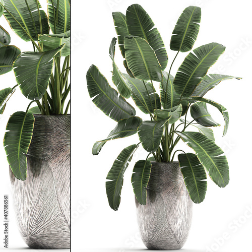 Fototapety, obrazy: tropical plants banana in a luxury pot on a white background