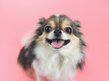 Happy And Healthy Long Hair  Chihuahua Dog Smiling With Her Tongue Out And  Looking At Camera On Pink Background. Adorable Animal Concept