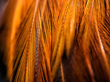 Detailed Photo Of Chicken Feather Texture With Red And Orange Macro Photo Technique