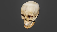 3d Rendering Of A Model Of A Human Skull On The Grey Background