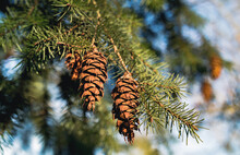 Douglas Fir Pine Cones With Long Tridentine On Tree Branch. Oregon Pine Or Columbian Pine. An Evergreen Conifer Species In The Pine Family. Abstract And Defocused Background. Nature Backdrop Texture.