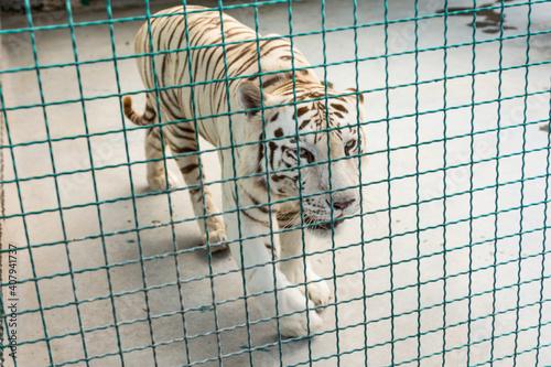 Carta da parati White beautiful majestic tiger in captivity.