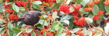 Common Blackbird, Turdus Merula, Eating Red Seeds In A Tree