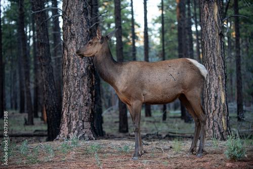 Natura. Deer Fawn, Bambi, capreolus. Młode sarny białoogonowe. Piękne dzikie kozły.